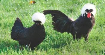 poule-pondeuse-coq-reproducteur-race-hollandaise-noire-huppe-blanche-ornement-xxl