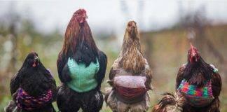 poules (2)