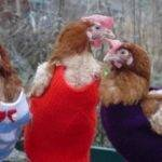 poules (4)